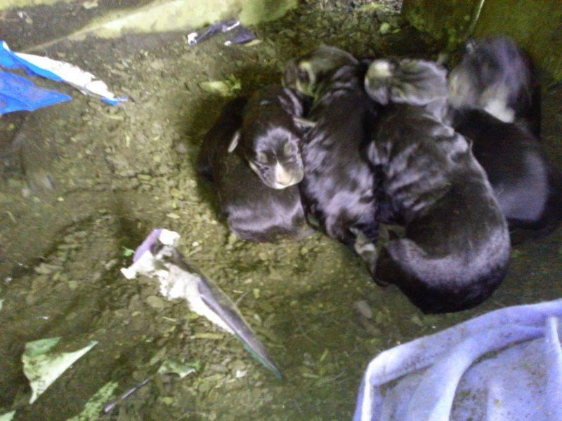 cachorrosnegros